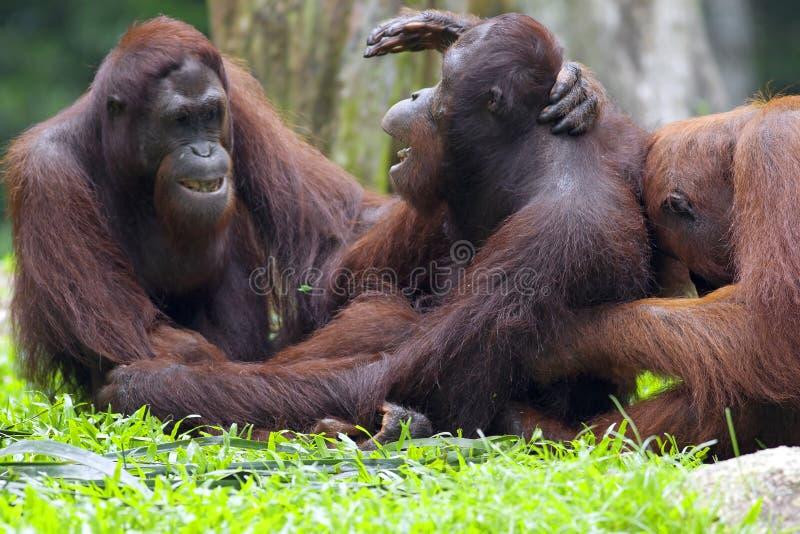 Borneo-Orang-Utan stockfotografie