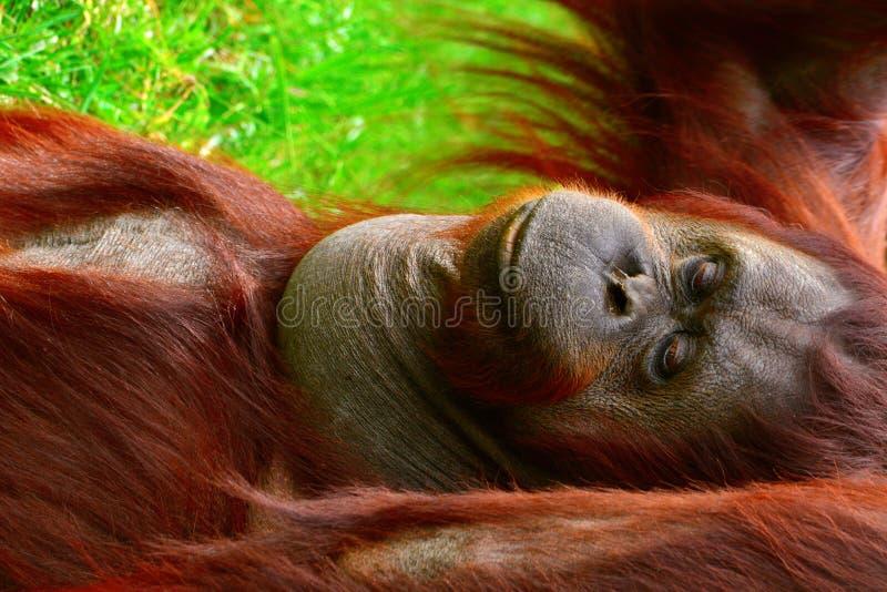 Borneo-Orang-Utan stockfotos
