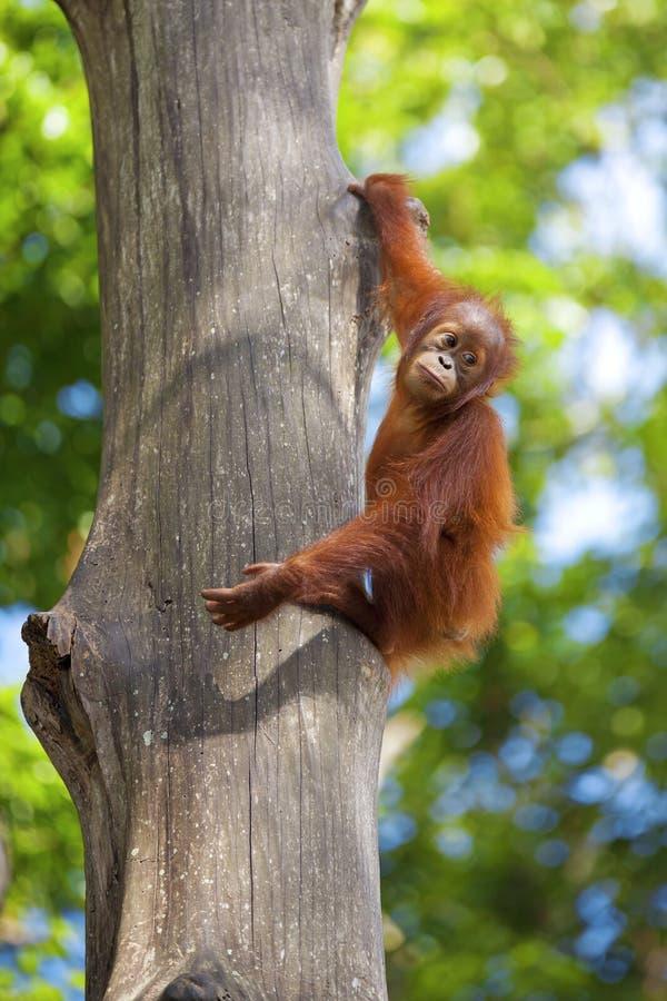 Borneo Orangutan obraz stock