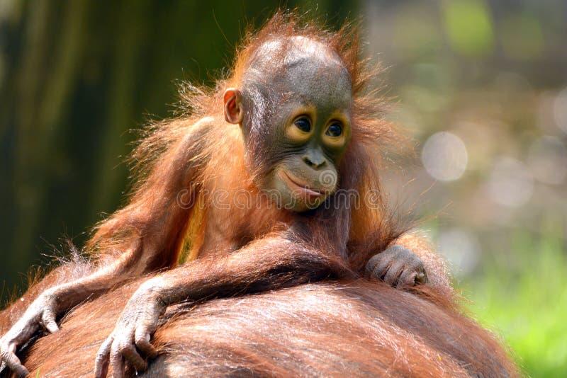 Borneo orangutan. And baby smiling