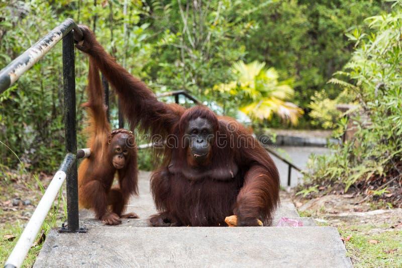 Borneo Orangutan rodzina obrazy stock