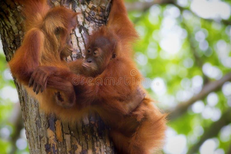 Borneo Orangutans. Orangutans in the jungle of Borneo, Malaysia royalty free stock photos
