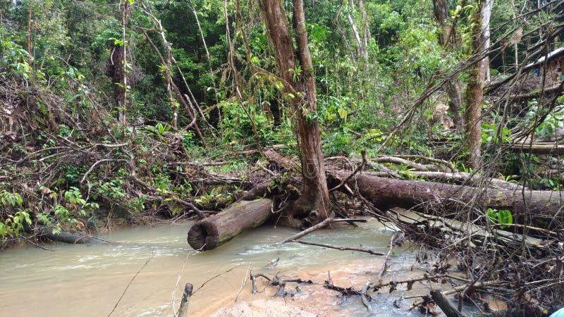 Borneo& x27; s dżungla obrazy royalty free