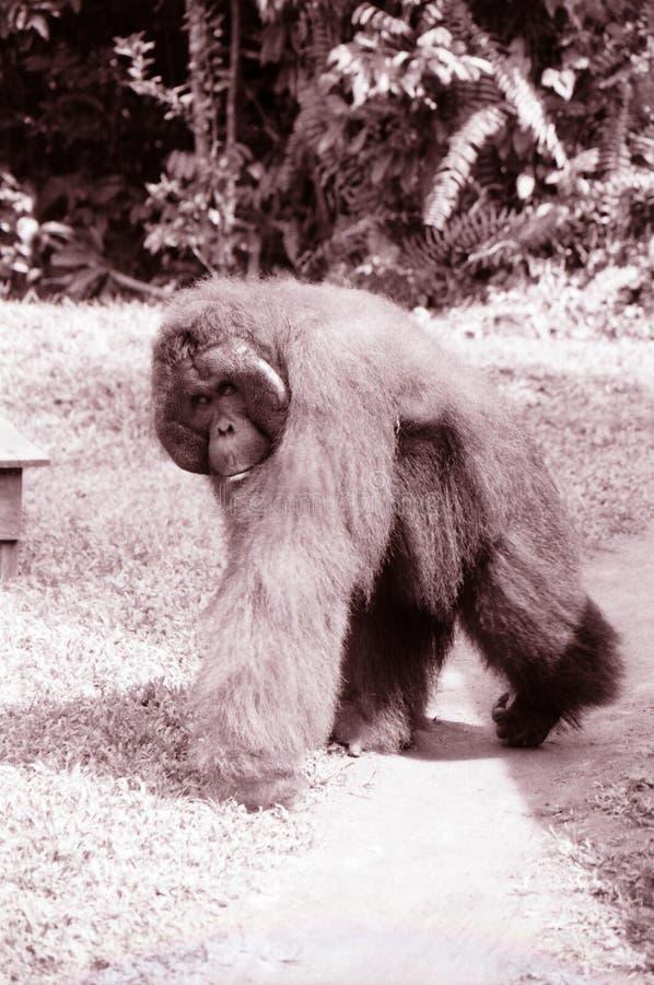 Borneo sepiowy wizerunek Orangutan zdjęcie royalty free