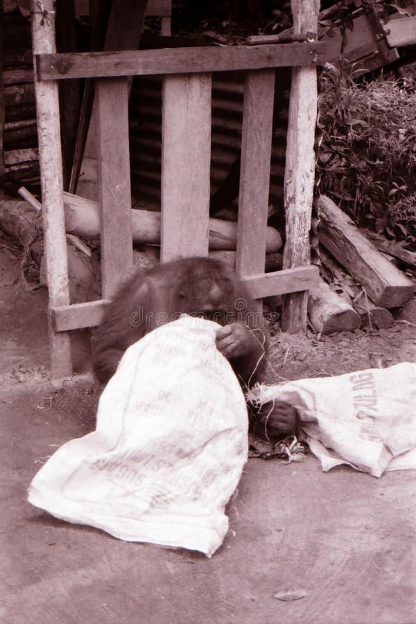 Borneo sepiowy wizerunek Orangutan zdjęcia royalty free