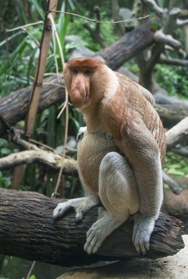 Borneo snabelapa royaltyfri fotografi