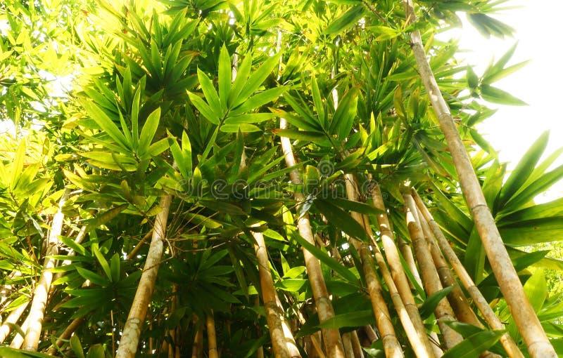 Borneo tropikalny bambus obraz royalty free