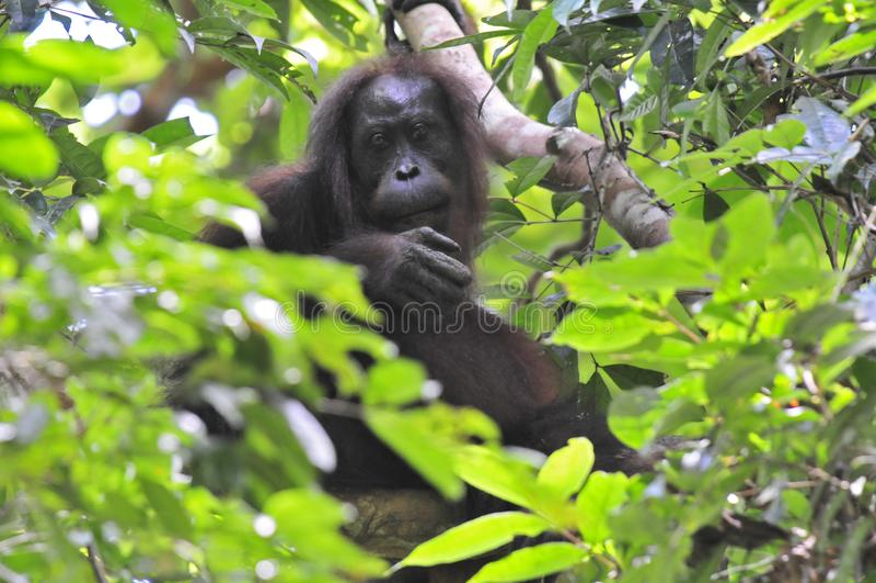 Borneose渔郎oetan, Bornean猩猩,类人猿pygmaeus 库存图片