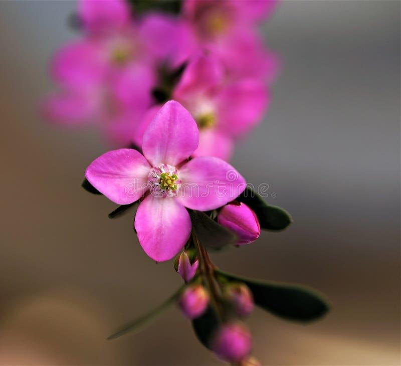 Boronia-Blume stockfoto
