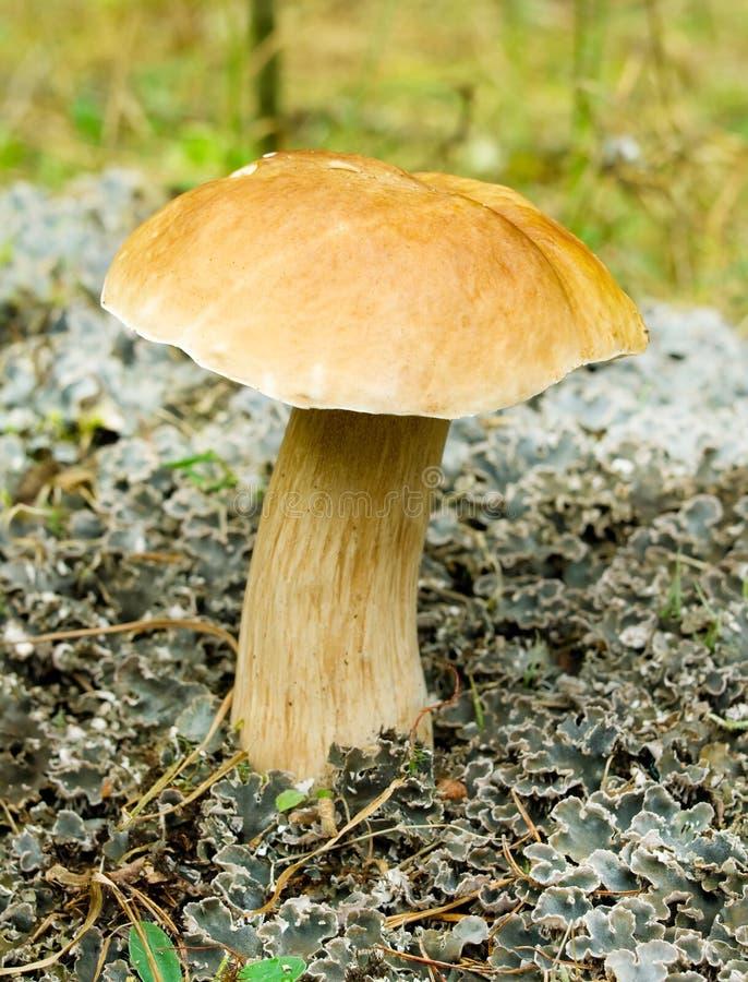 (Borowik las) ja rozrasta się w jesień lesie fotografia royalty free