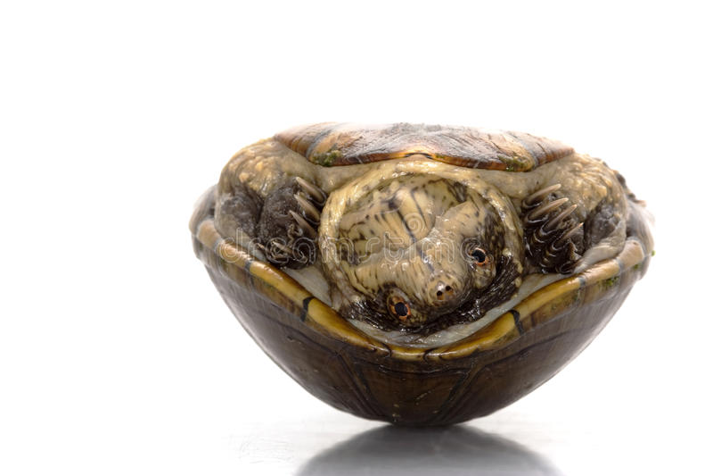 borowinowy Florida żółw obraz royalty free