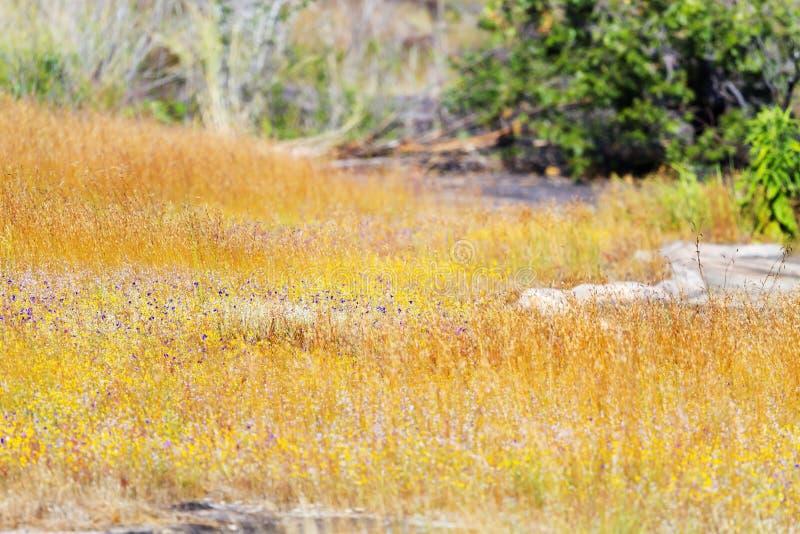 Borrão dos delphinoides do Utricularia com grama amarela foto de stock royalty free
