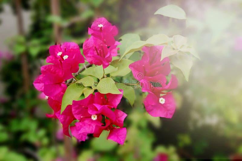 Borrão macio das flores do rosa que floresce no jardim imagens de stock