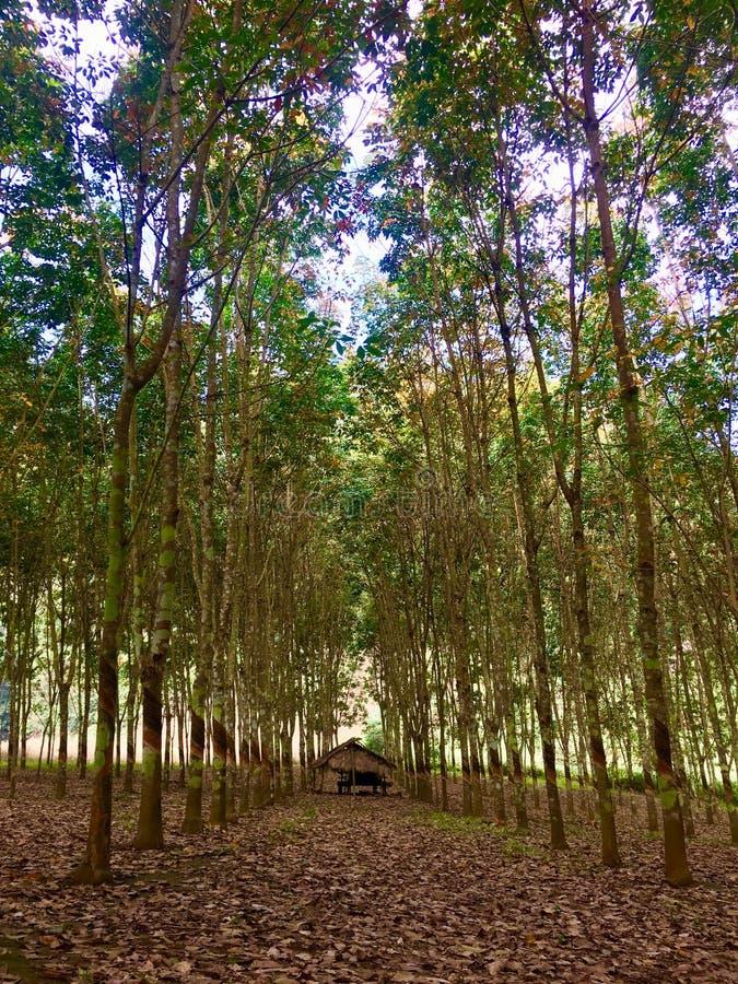 Borracha trees fotos de stock