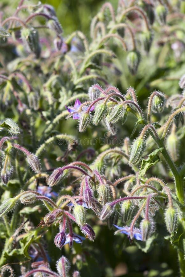 Borragine (borago officinalis) fotografia stock