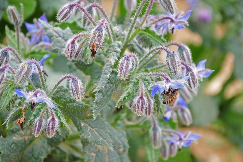 Borraja de florecimiento con la abeja de la miel fotos de archivo