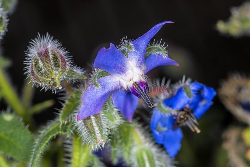 Borraja, especia y medicina foto de archivo