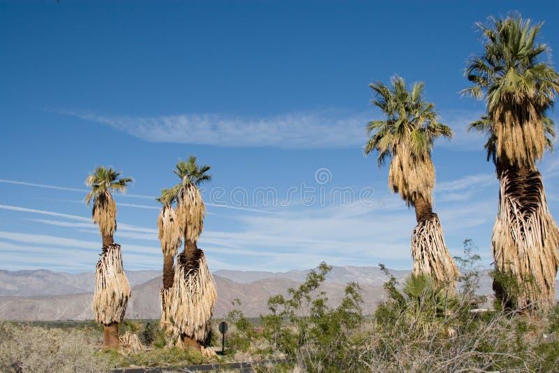 borrego anza pustyni dłonie fotografia stock