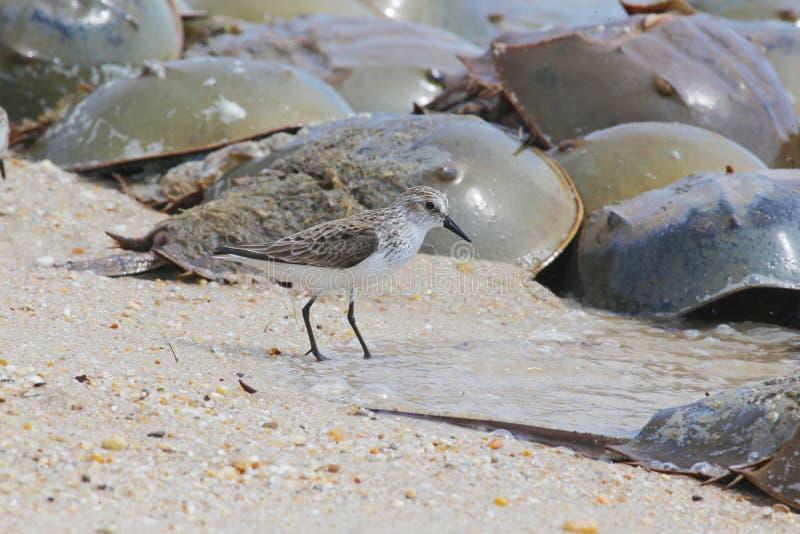 Borrelho de Semipalmated e desovar os caranguejos em ferradura na praia da baía de Delaware foto de stock