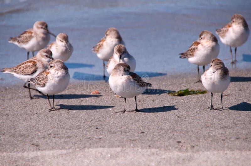 Download Borrelho Ocidental Pacífico (Calidris Mauri) Imagem de Stock - Imagem de ocidental, pássaro: 26518499