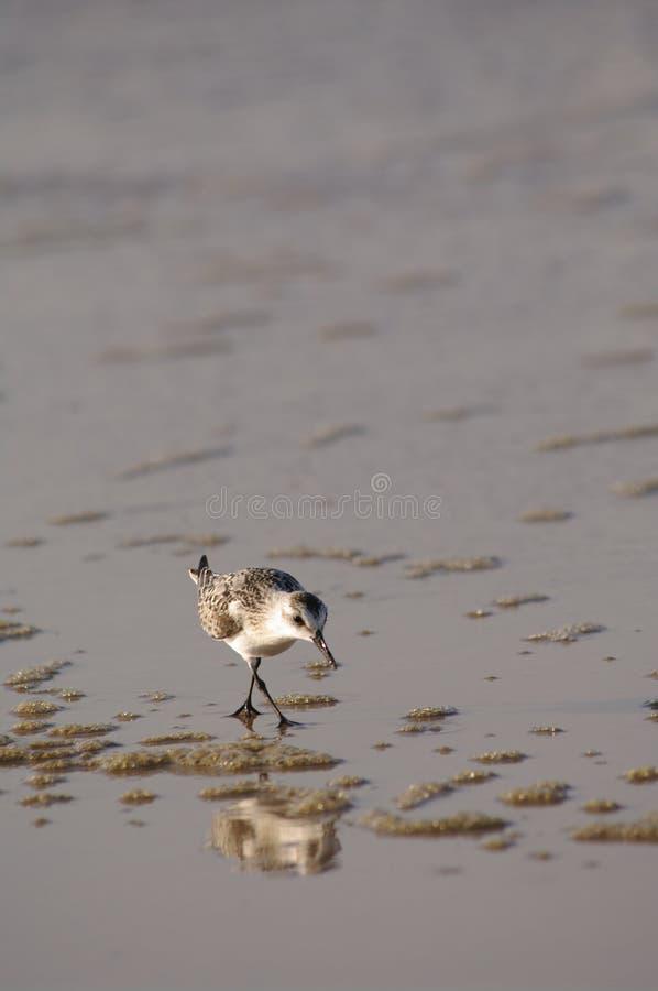 Borrelho running (família do Scolopacidae) imagens de stock