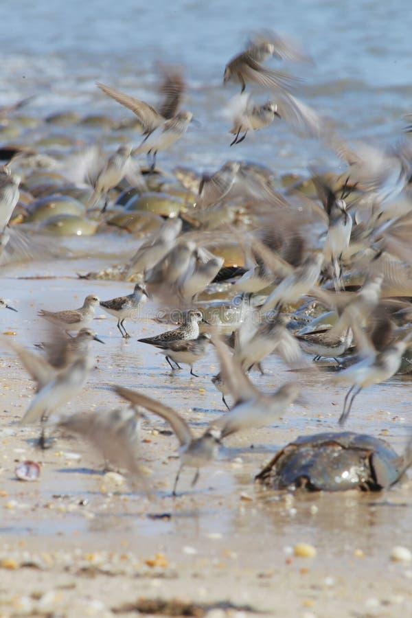 Borrelhos de Semipalmated da luta ou do voo e desovar os caranguejos em ferradura na praia da baía de Delaware imagens de stock royalty free