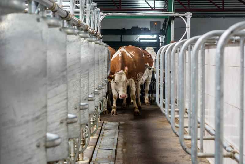 Borroso debido a un temblor fuerte, como resultado del susto, la vaca primero entra en la sala de ordeño foto de archivo