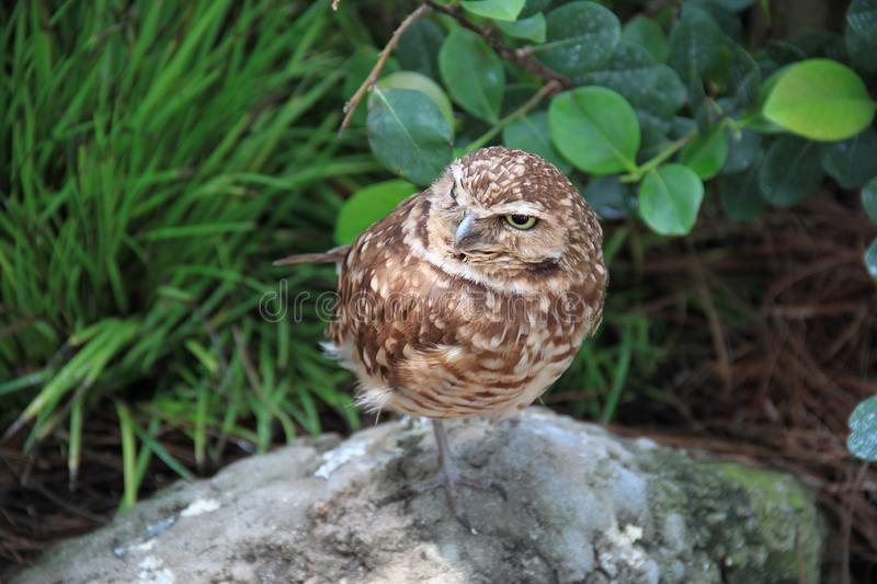 Borrowing owl Athene cunicularia in its habitat. A single borrowing owl Athene cunicularia standing on a rock royalty free stock photos