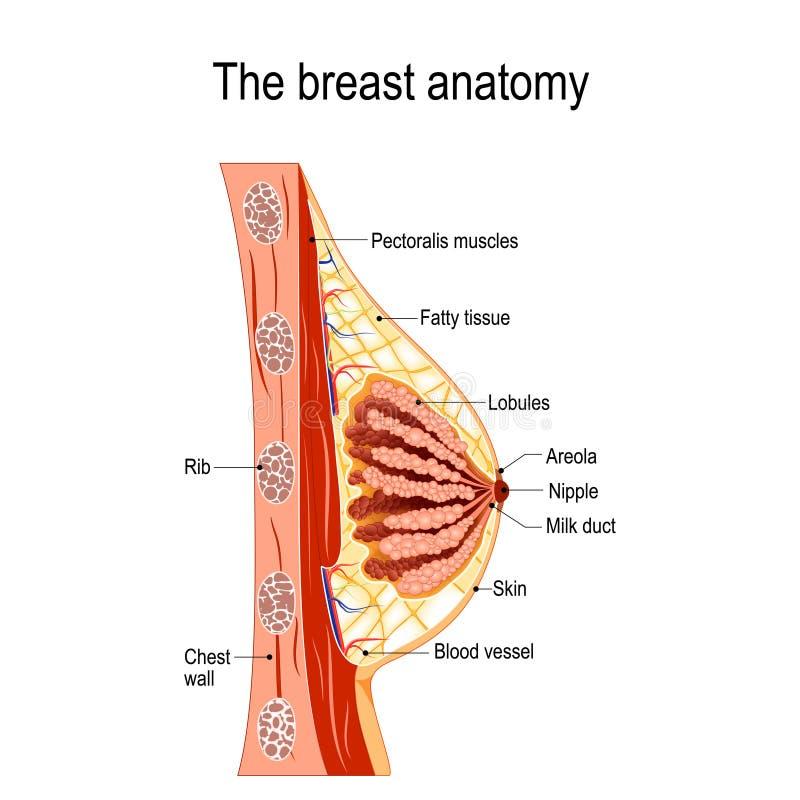 Borstanatomie Dwarsdoorsnede van de borstklier stock illustratie