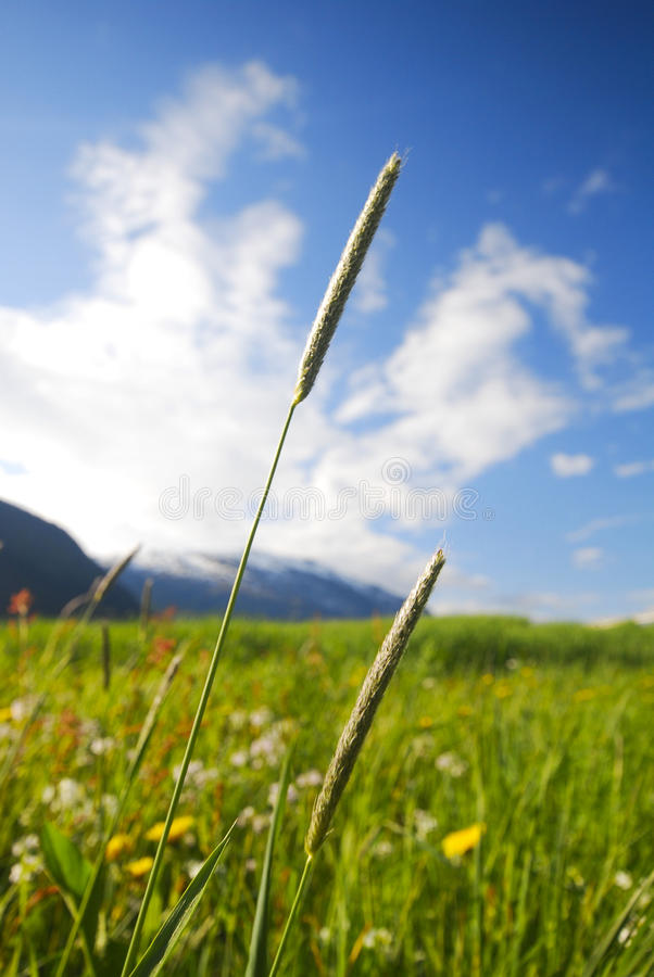 Borste-Gras lizenzfreies stockfoto
