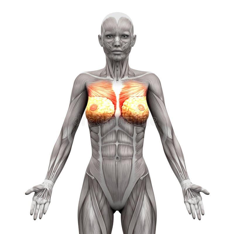 Borstspieren - Grote borstspier en Minderjarige - Anatomiespieren ISO royalty-vrije illustratie
