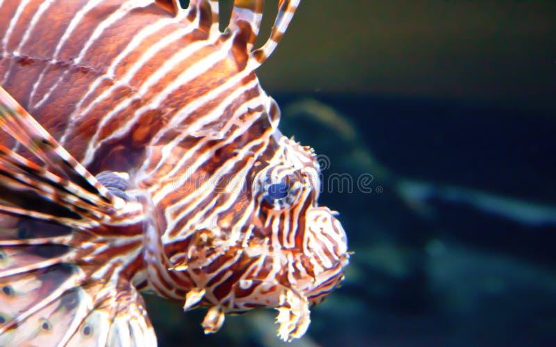 Bortgång Lion Fish royaltyfria foton