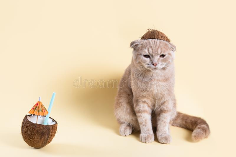 Bortskämd dålig semester Olycklig ledsen katt i kokosnöthatt med kokosnötcoctailen på gul bakgrund Loppproblem kopiera avst?nd arkivfoton