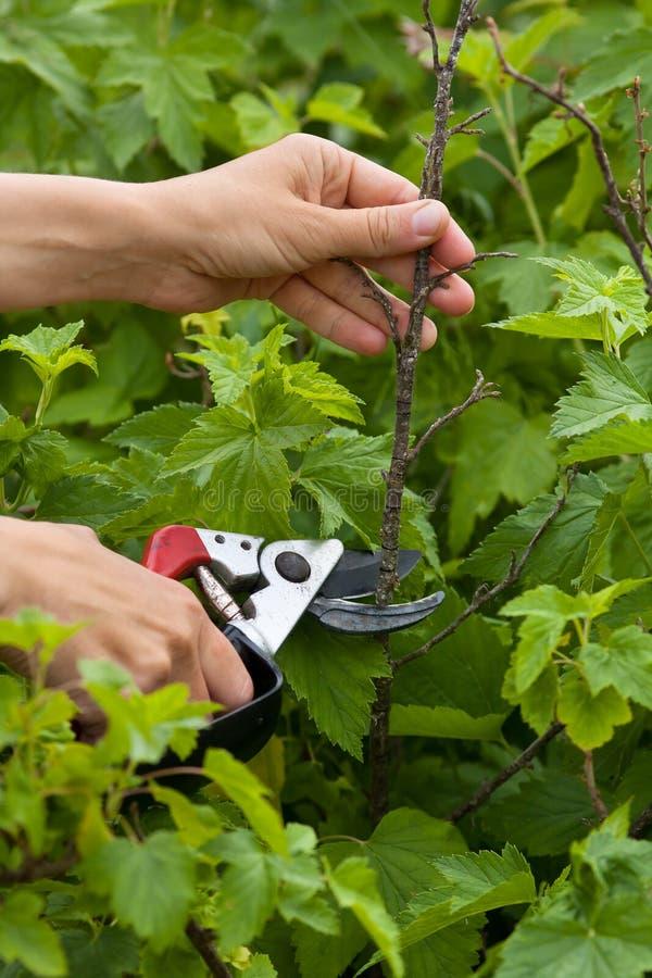 Borttagning av den torra vinbäret förgrena sig med en trädgårds- pruner arkivbild
