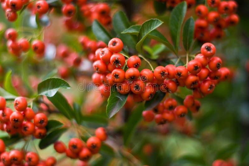 Borttappada röda mycket lilla frukter fokuserar in fotografering för bildbyråer