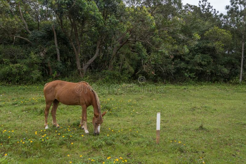 Borwn koński pasanie na trawy polu z małymi żółtymi kwiatami w Campeche, Florianopolis, Brazylia fotografia royalty free
