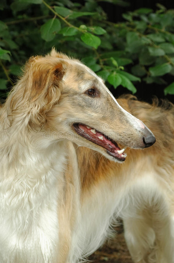 Free Borzoi Stock Photos - 13651373