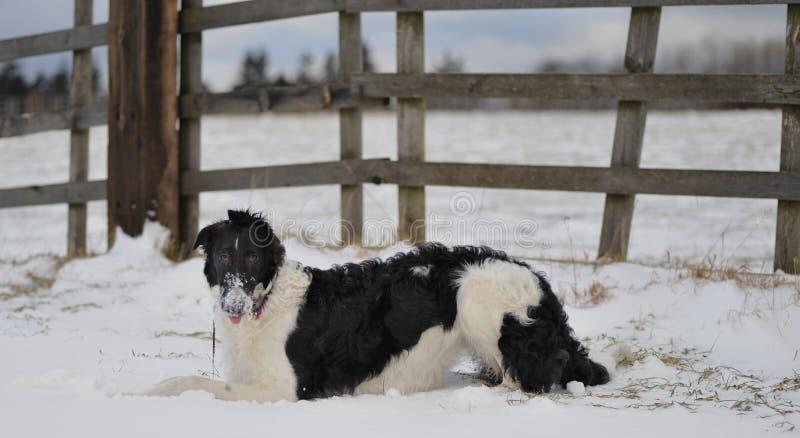 Borzoi dans la neige. photo libre de droits