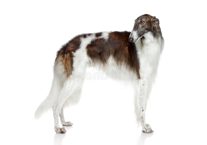 Borzoi do russo, cão do galgo fotos de stock royalty free