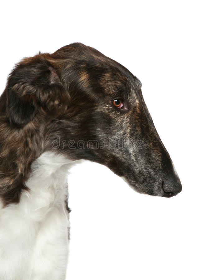 Borzoi do russo. Retrato principal do close-up do perfil imagem de stock royalty free