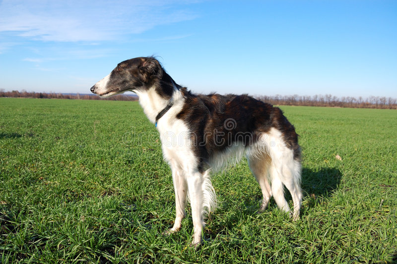Borzoi in expectation of hunting royalty free stock photography