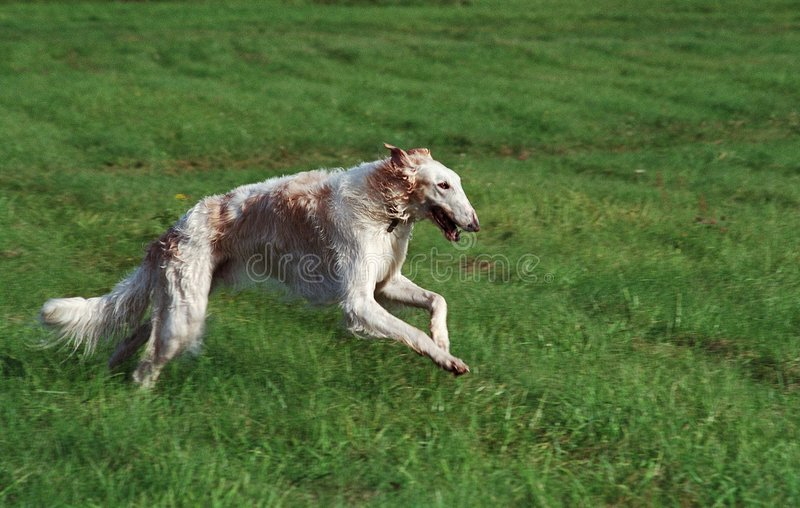 Download Borzoi running stock image. Image of wolfhound, russian - 124855