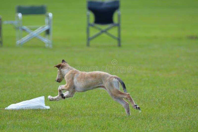 Borzoi Wolfhound szczeniaka Rosyjski bieg w polu obraz stock