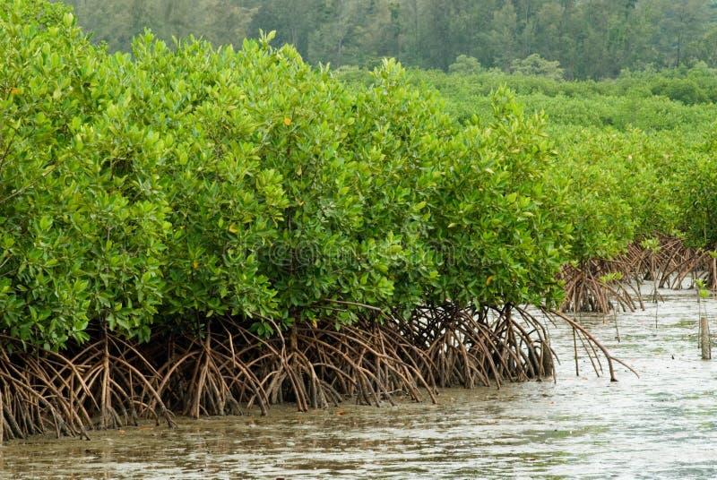 Bos 2 van de mangrove. stock fotografie