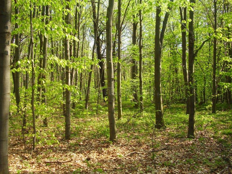 Bos in de lente royalty-vrije stock afbeelding
