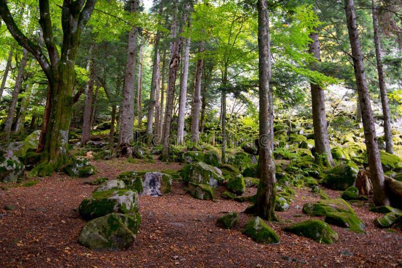 Bos in de de Vogezen-bergen stock afbeelding