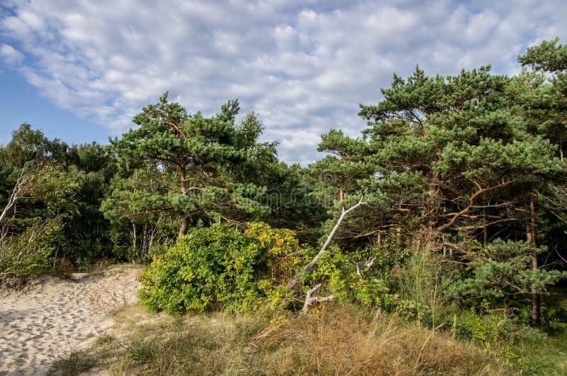 bos dichtbij Oostzee in Litouwen stock afbeeldingen