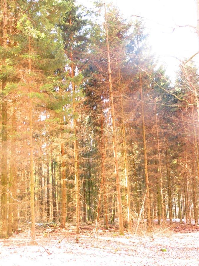Bos en zonnestralen stock afbeeldingen