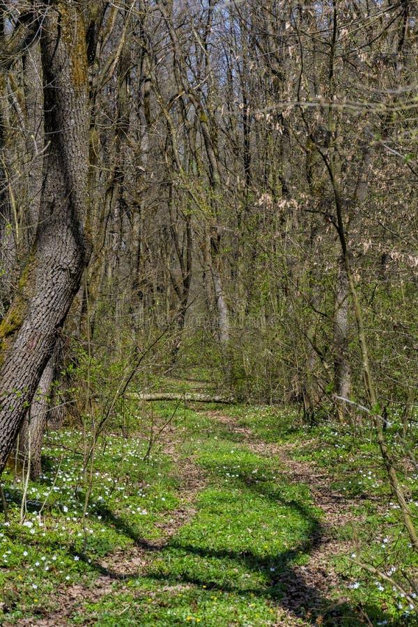 Bos het lopen en wandelingsweg met lange bomen bij de vroege lente stock afbeelding