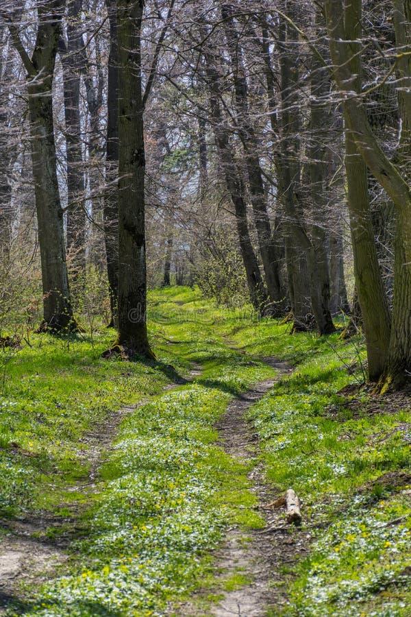 Bos het lopen en wandelingsweg met lange bomen bij de vroege lente royalty-vrije stock afbeelding